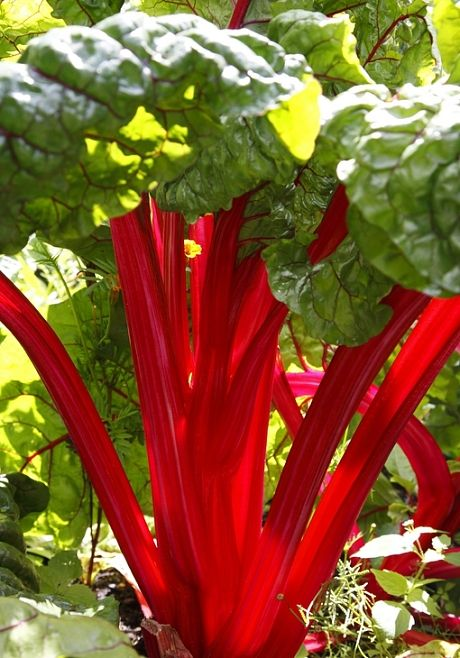 MacDonald's Canadian Red Rhubarb, 1 plant